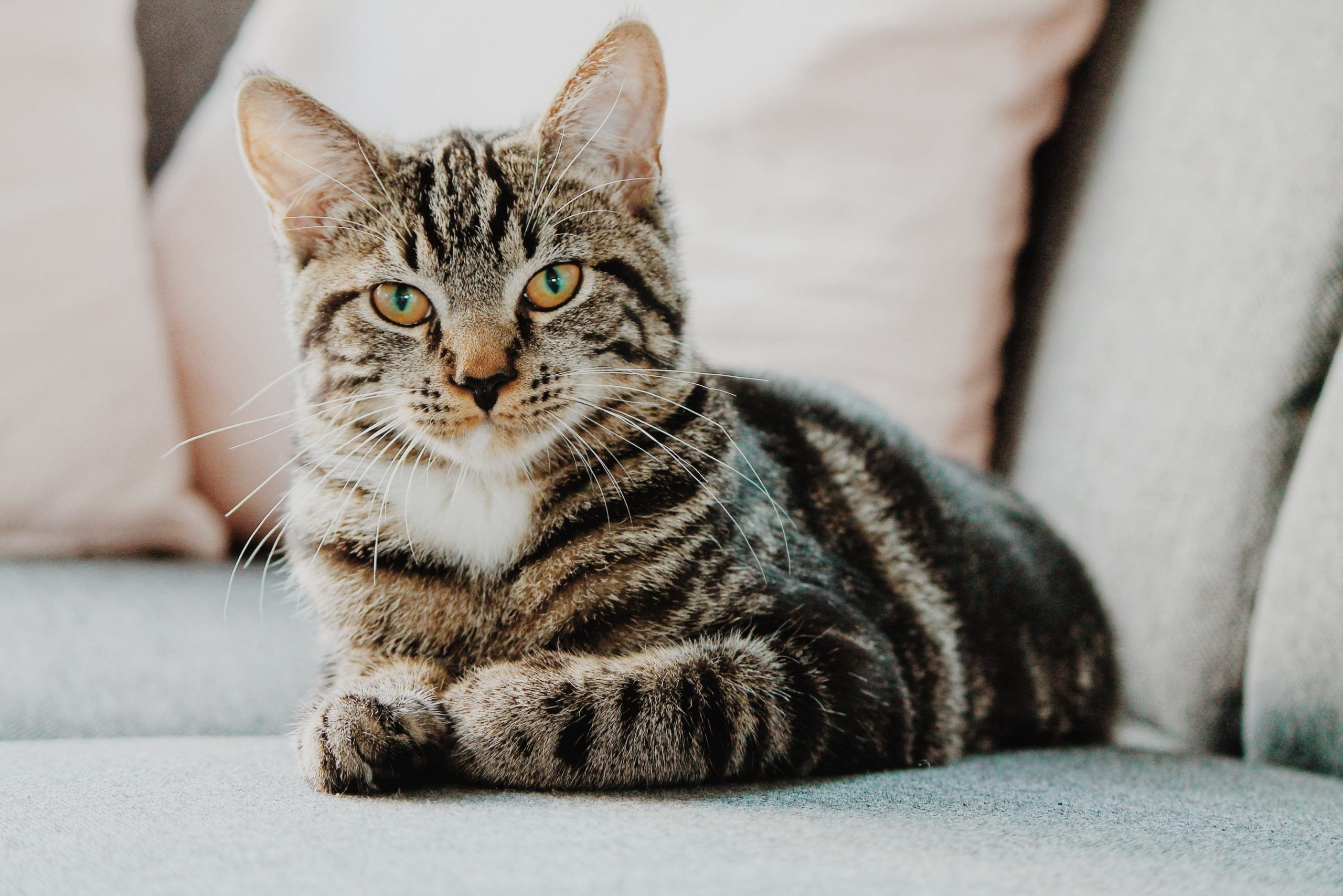 Scientists Identify A Gene That Forms Fur Patterns In Cats